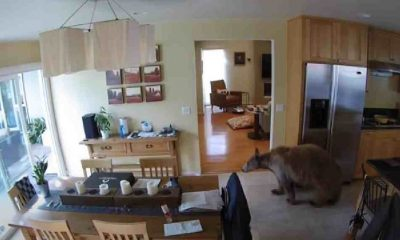 Arka kapıdan giren ayıyı evin hiç beklenmedik iki sakini kovaladı