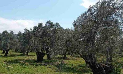 Balıkesir'in asırlık zeytin ağaçları ranta açılıyor