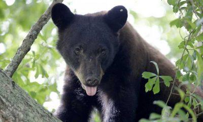 Gizemli hastalık yüzünden ayılar köpek gibi davranmaya başladı