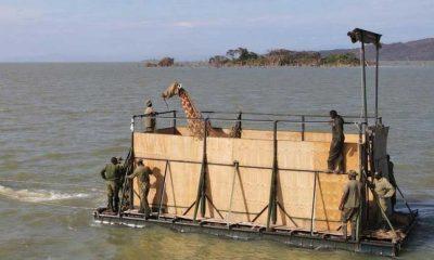 Kenya'daki adada mahsur kalan son anne ve yavru zürafa da kurtarıldı