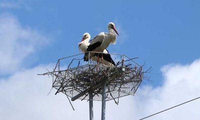 Tekirdağ'da leylekler, elektrik direklerine konulan platformlara yuva yapmaya başladı