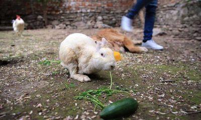 Yaralıyken sahiplendikleri tavşanı yeniden hayata bağladılar