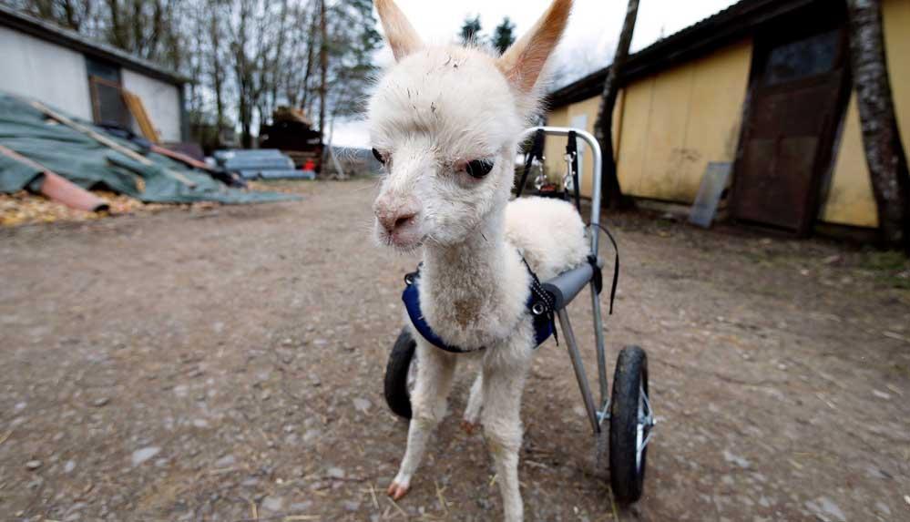 Yavru alpaka 'Marie', doğum sırasında sakat kalmıştı, artık yürüyebiliyor
