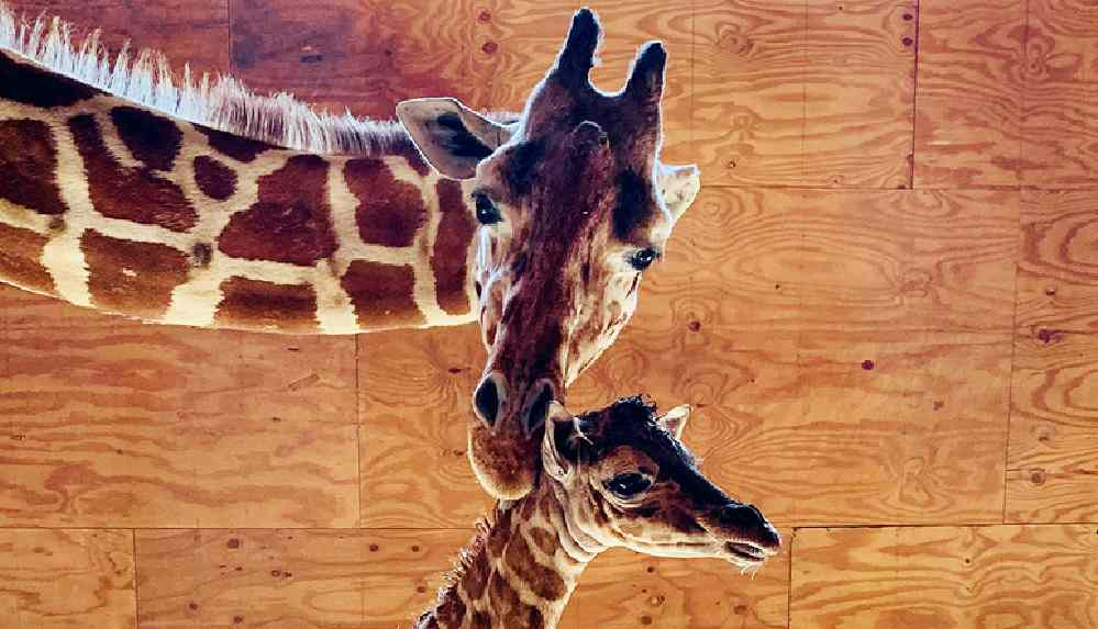 Zürafa April 20 yaşında hayatını kaybetti