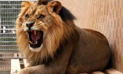 200 kiloluk aslanların uçak yolculuğu sosyal medyada viral oldu