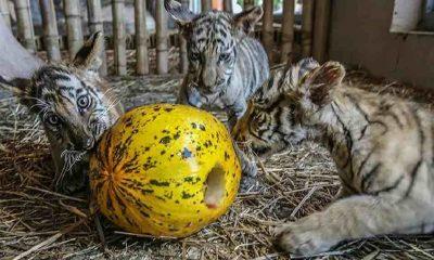 Çin'de leoparlar safari parkından kaçtı