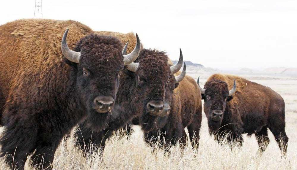 ABD'de Büyük Kanyon'daki bufalo artışı nedeniyle düzenlenecek ava 45 binden fazla başvuru