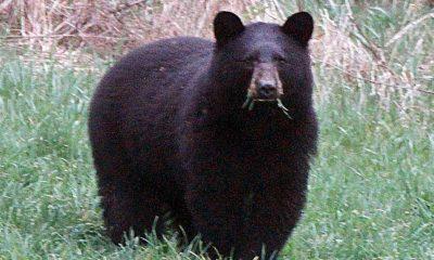 ABD'de köpeklerini gezdiren kadını ayıya yem oldu