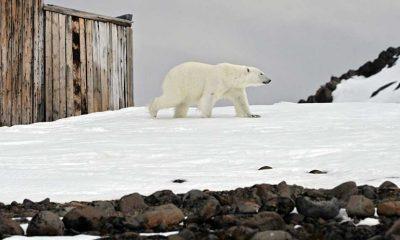 Açlıktan ölüm eşiğinde olan kutup ayısı askeri uçakla Moskova'ya ulaştırıldı