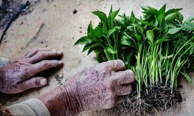 Ata tohumuyla başladıkları fide üretiminde talebe yetişemiyor