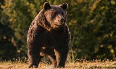 Avrupa'nın en büyük ayısını kasten öldürmekle suçlanan Liechtenstein prensine soruşturma