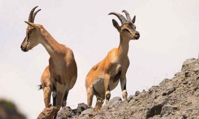 Bakanlık'tan nesli tükenen 45 yaban keçisinin avlanması için onay