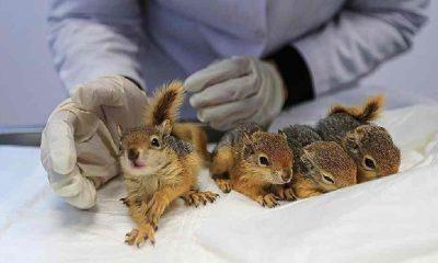 Denizli'de bitkin halde bulunan 4 yavru sincap tedaviye alındı