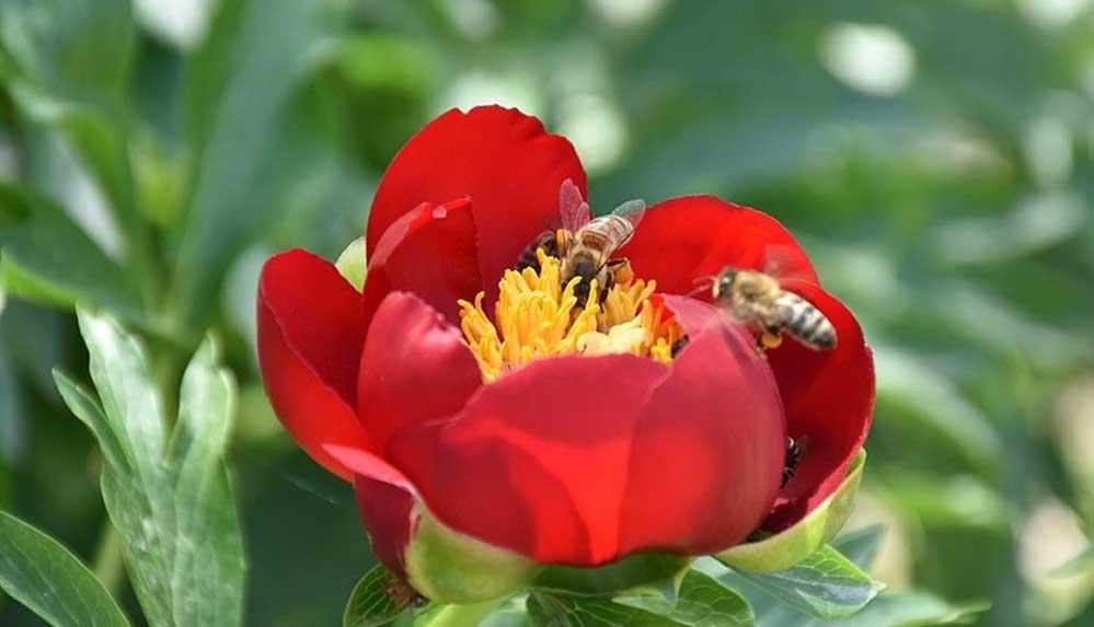 Dünya Arı Günü: Arı popülasyonunun azalması gıda güvenliğini tehdit ediyor
