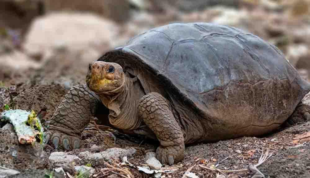 Galapagos'da 100 yıldan uzun süre önce soyu tükenmiş ilan edilen kaplumbağa türü geri döndü