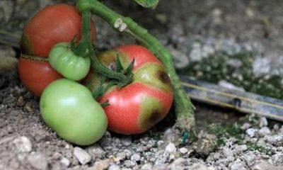 İsrail'den gelen virüs tehlikesi: 3 yıl içinde domates bulamayacağız