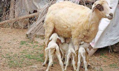 Muğla'da bir koyunun tek batında 7 kuzu doğurması şaşırttı