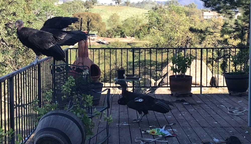 Nesli tükenme tehlikesi altındaki dev kuşlar bir evi talan etti