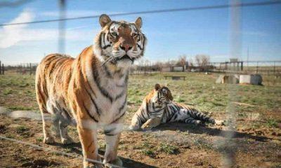 Netflix'in Tiger King dizisinin çekildiği hayvan parkındaki 68 büyük kediye el konuldu
