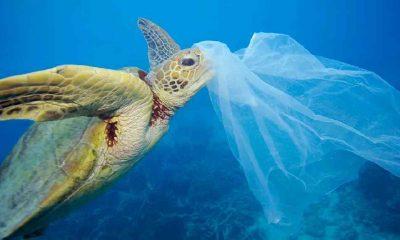 Plastik atık, ilk kez caretta carettaların kaslarında da saptandı