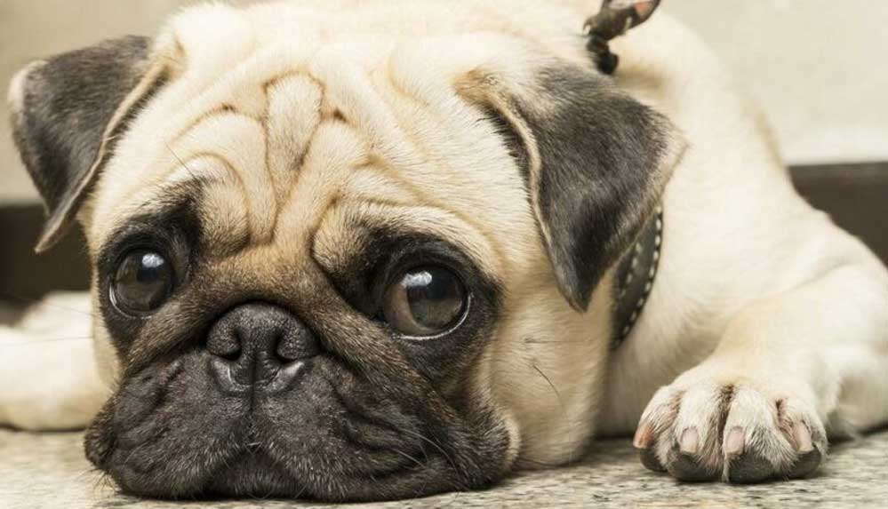 """Köpek cinsleri ile ilgili çarpıcı araştırma: """"Bu ırkları seviyorsanız, onları satın almamalısınız"""""""
