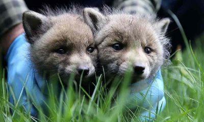 Sivas'ta 2 kurt yavrusu korumaya alındı