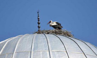 Tokat'ta 27 yıldır aynı caminin kubbesine yuva yapan leylekler ilçenin maskotu oldu
