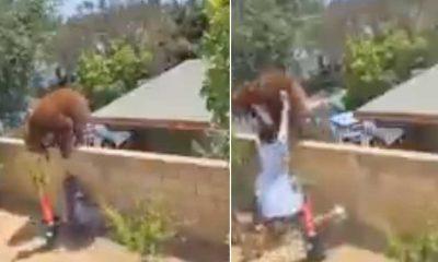 ABD'de bir kadın, yavrularını korumaya çalışan ayıyı bahçe duvarından itti