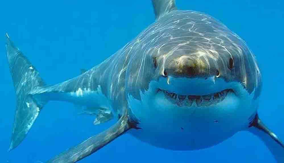 Bilim insanları köpekbalıklarının nasıl dinlendiğini keşfetti