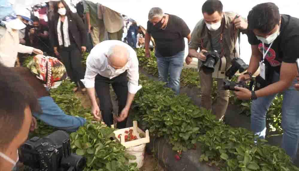 CHP lideri Kılıçdaroğlu Aydın'da çilek hasadına katıldı