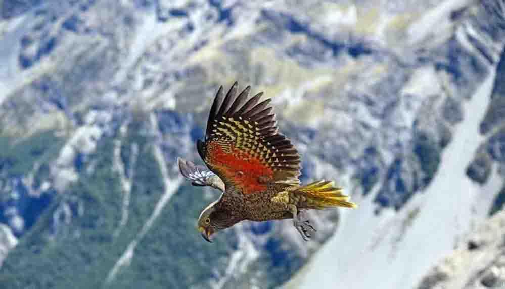 Dağda yaşayan tek papağan türünün aslında insanlardan kaçtığı ortaya çıktı
