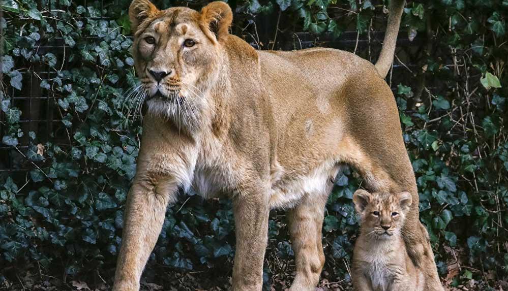 Hindistan'da koronavirüsten ölen ilk hayvan Asya aslanı oldu