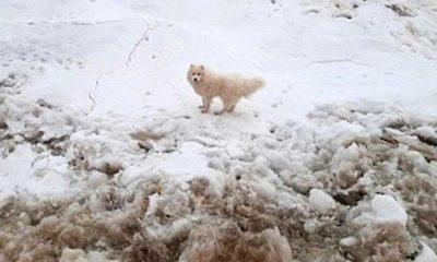 Kuzey Kutbu'nda kaybolan köpek gemi kaptanı tarafından buzulların arasında bulundu