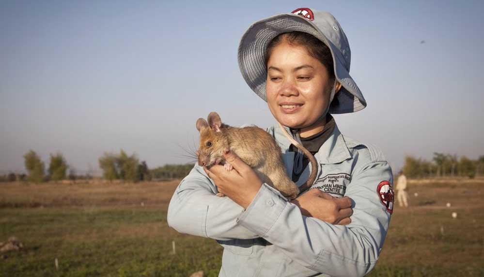 Mayın bulan madalyalı kahraman sıçan Magawa emekli oluyor