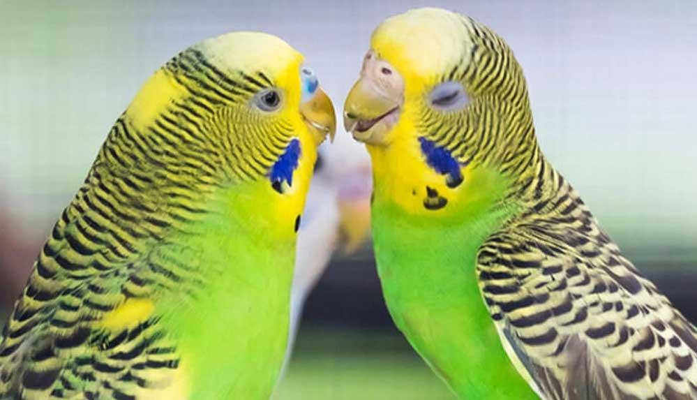 Muhabbet Kuşu isimleri... En güzel Muhabbet kuşu isim önerileri