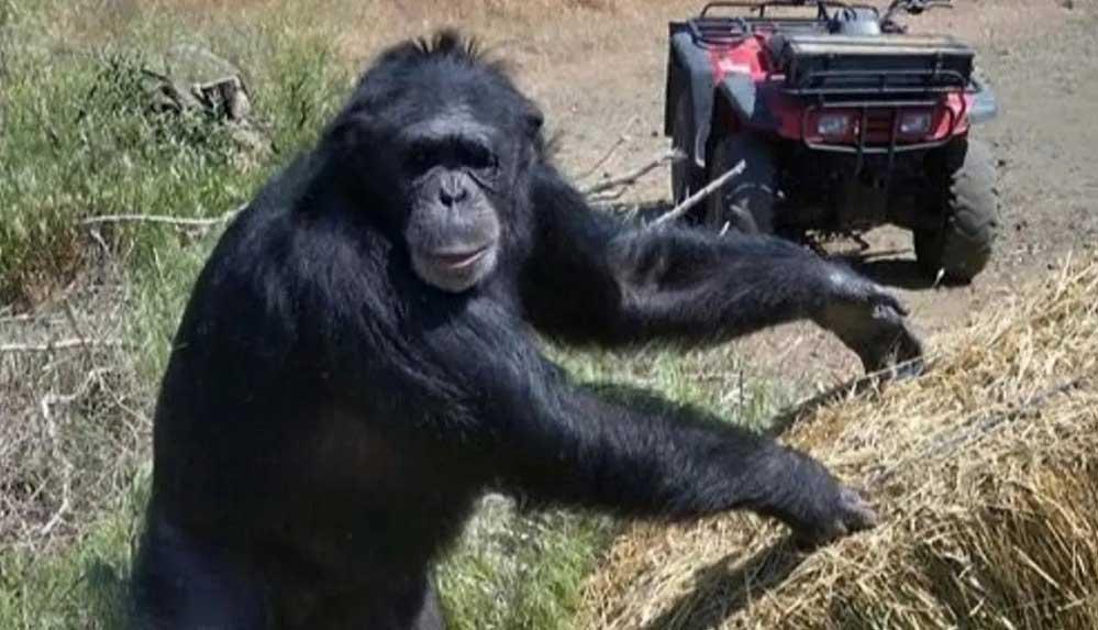 Sahibinin kızına saldırıp yaralı halde bodrumda mahsur bırakan şempanze vuruldu