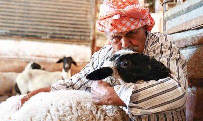 Sakız koyunu yetiştiriciliğine adanmış bir ömür