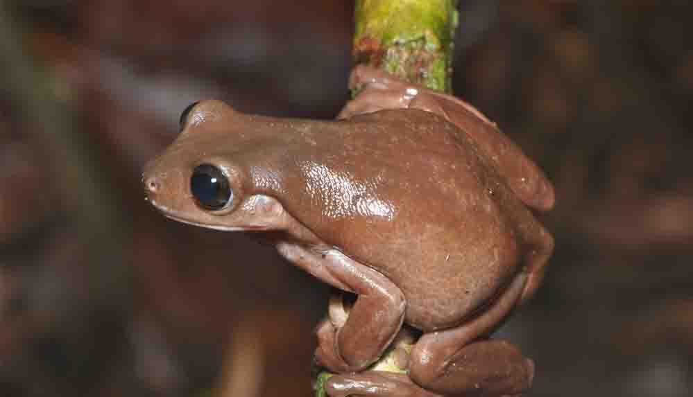 Yeni Gine yağmur ormanları yeni bir tür: Çikolata kurbağa