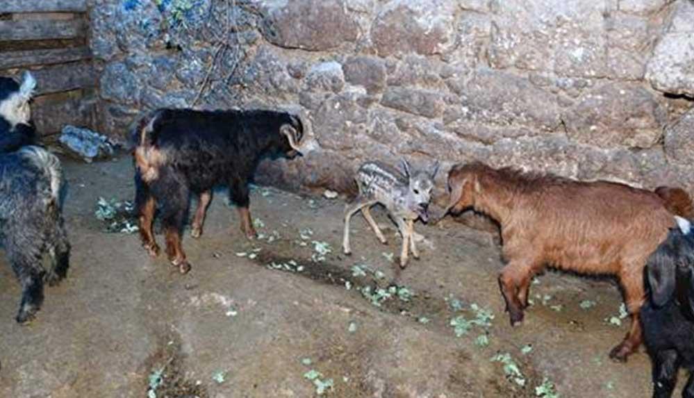 Yırtıcı hayvanlardan kaçan karacaya yavrusu ölen keçi annelik ediyor