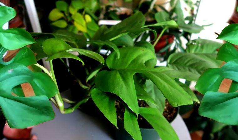 Ev bitkisi açık artırmada 160 bin lirayı gördü