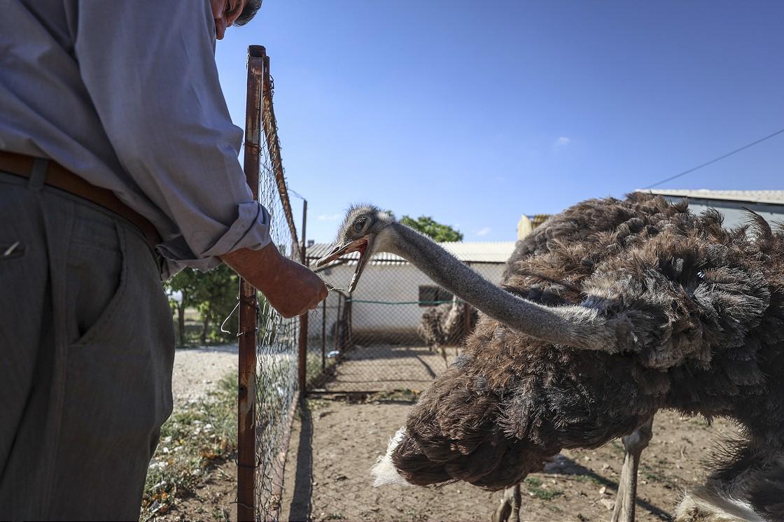 Kırşehir'deki çiftliğinde deve kuşu yetiştiren yurttaş taleplere yetişmekte zorlanıyor