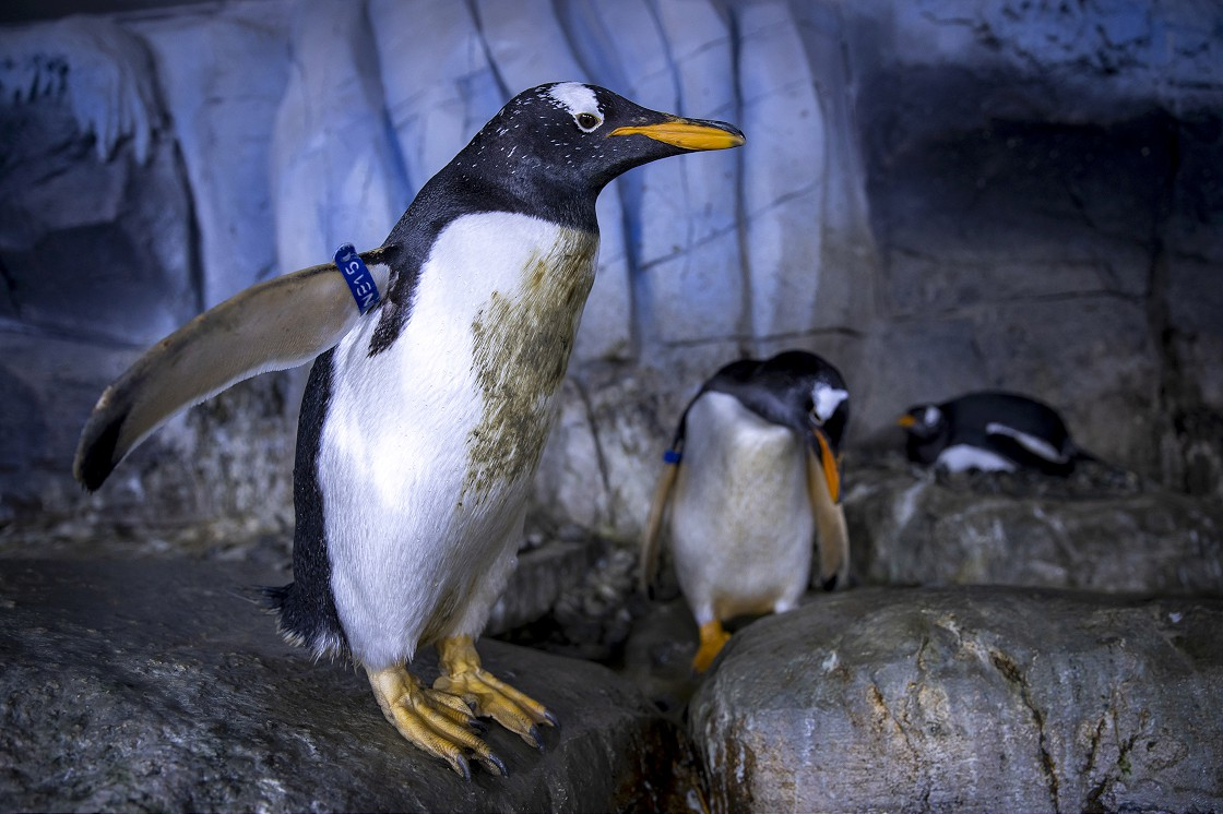 Türkiye'nin ikinci bebek kutup pengueni ilgi odağı oldu