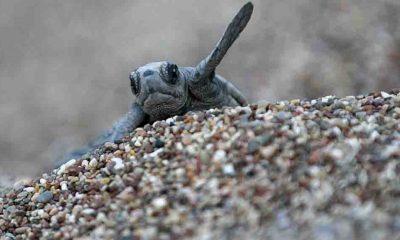 Antalya'da caretta caretta yavruları denizle buluşmaya başladı