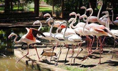 Antalya'da satılmak üzereyken ele geçirilen 21 flamingo koruma altına alındı