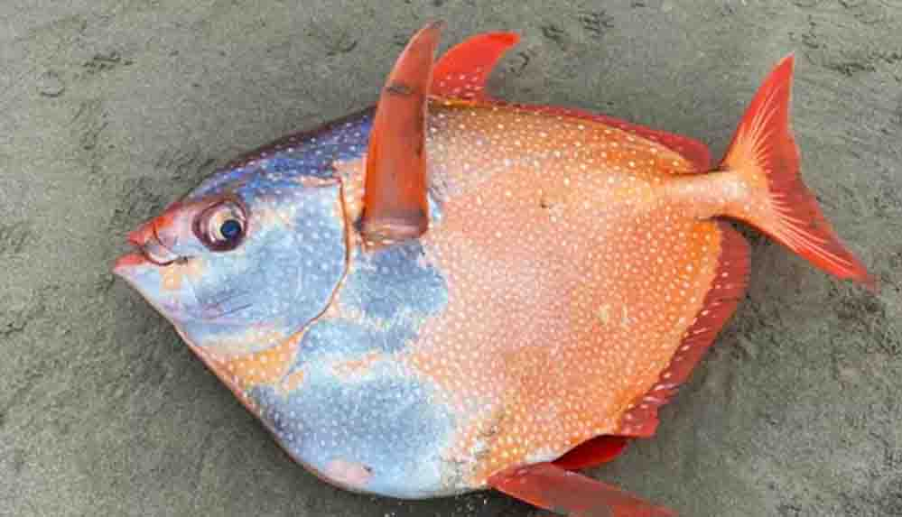 Az rastlanan Opah balığı kıyıya vurdu