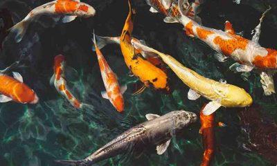 Balıklar uyuşturucuya bağımlı hale gelebiliyor