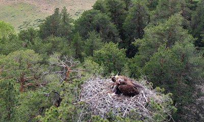 Çam ağacına yuva yapan iki akbaba, yavrularıyla görüntülendi