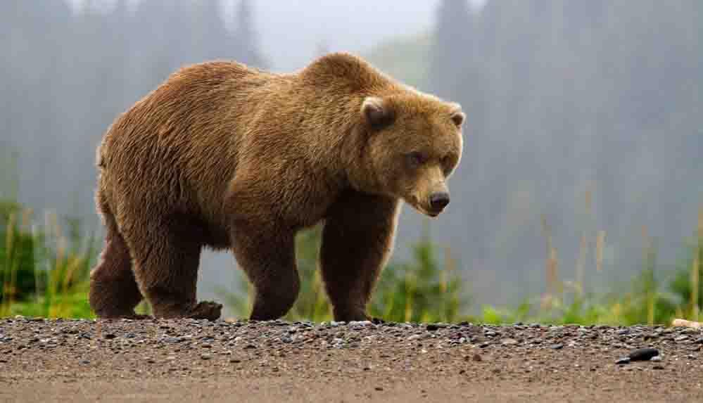 Devlet, ayı saldırısına uğrayan muhtara tazminat ödeyecek