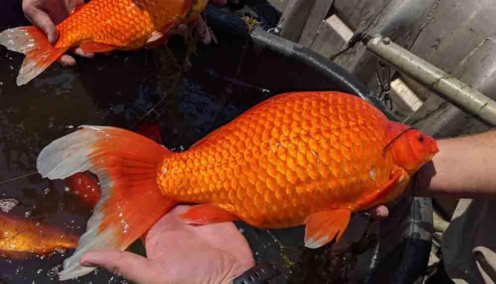 """Göle bırakılan Japon balıkları beklenmedik şekilde büyüyüp """"istilacı"""" oldu"""