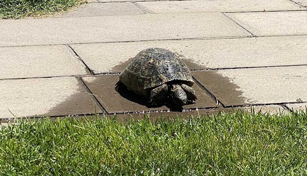 Niğde'de bir kaplumbağa hortumdan sızan suyla serinlerken görüntülendi